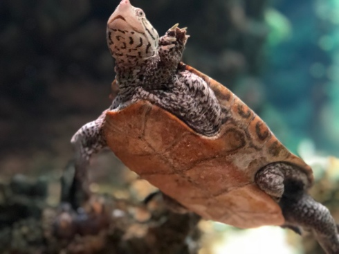Small turtle at the National Aquarium in Baltimore, September 1, 2018. Photo by Shayna Blumenthal