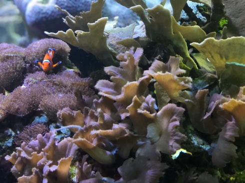 Clown fish at the National Aquarium in Baltimore, September 1, 2018. Photo by Shayna Blumenthal